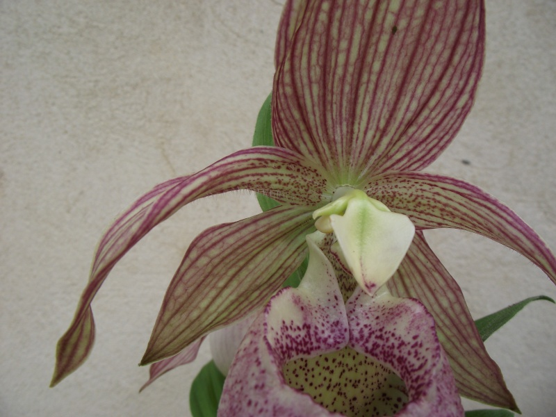 "Cypripedium : fleur ""monstrueuse"" Dscf3338"