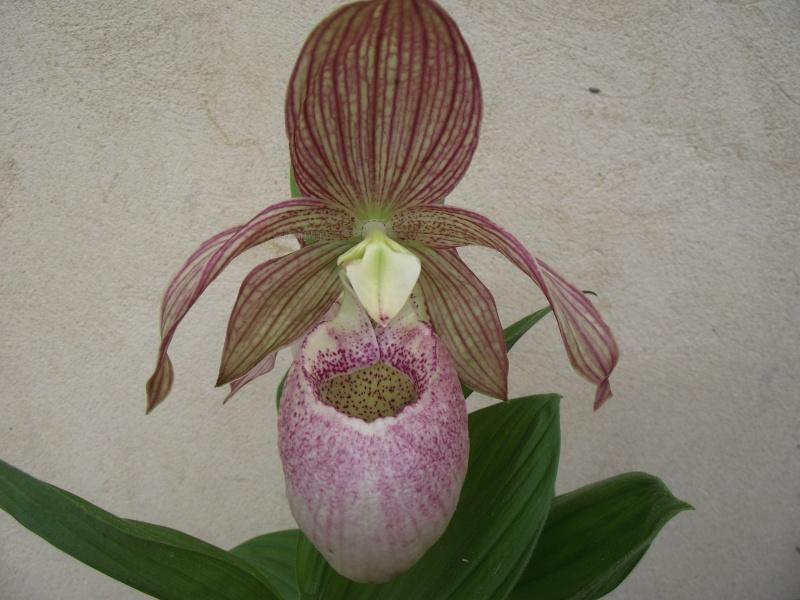 "Cypripedium : fleur ""monstrueuse"" Dscf3339"