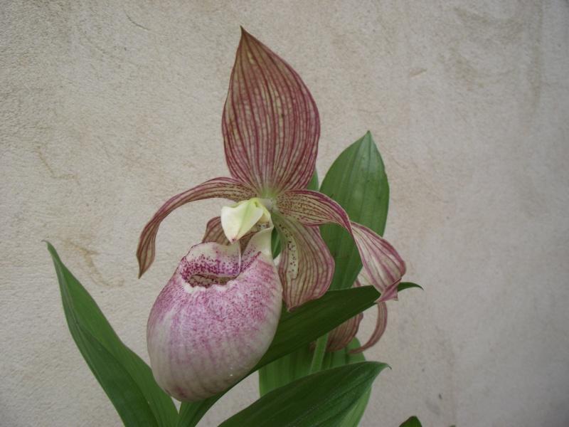 "Cypripedium : fleur ""monstrueuse"" Dscf3340"