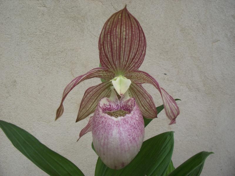 "Cypripedium : fleur ""monstrueuse"" Dscf3341"