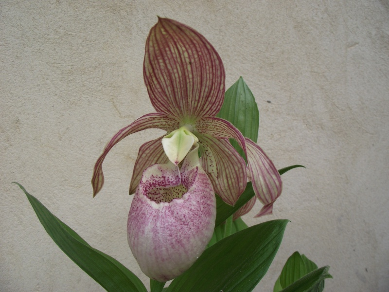 "Cypripedium : fleur ""monstrueuse"" Dscf3342"