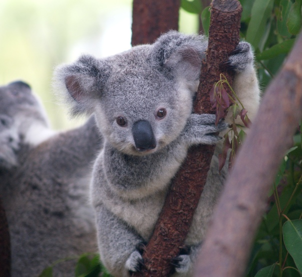 Confessions d'une koala anonyme 3fbcb710