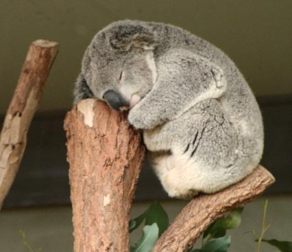 Confessions d'une koala anonyme Koala10
