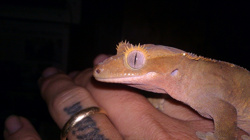 The Crested Gecko Forum - Portal Imag0411
