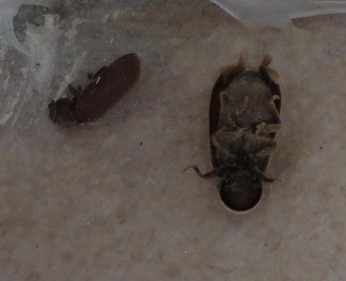 Invasion de petits insectes noirs dans ma maison Dsc02912
