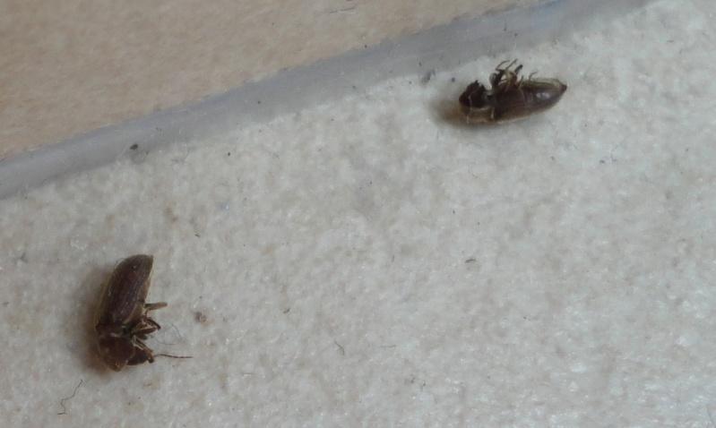 Invasion de petits insectes noirs dans ma maison Dsc02913