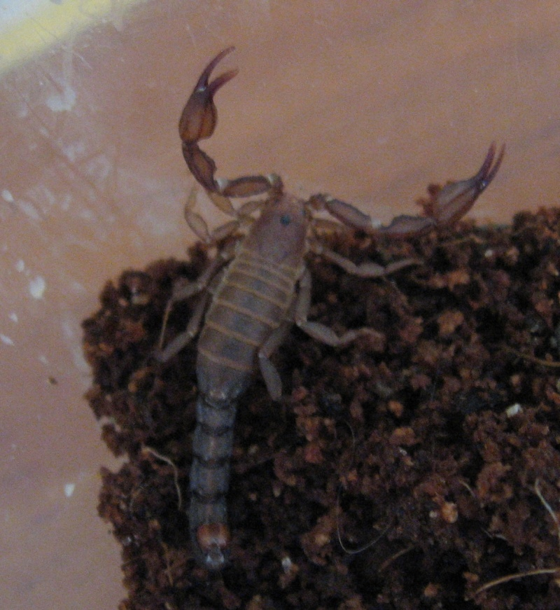 Help with California Scorp ID plz Xerxes12