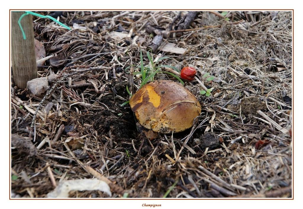 [fil ouvert] les champignons - Page 18 Dsc04156