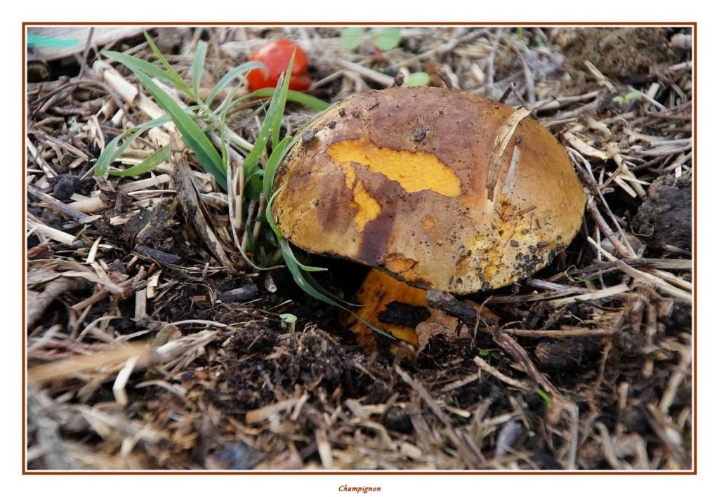 [fil ouvert] les champignons - Page 18 Dsc04157