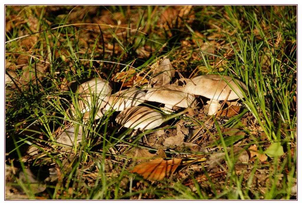 [fil ouvert] les champignons - Page 18 Dsc04213