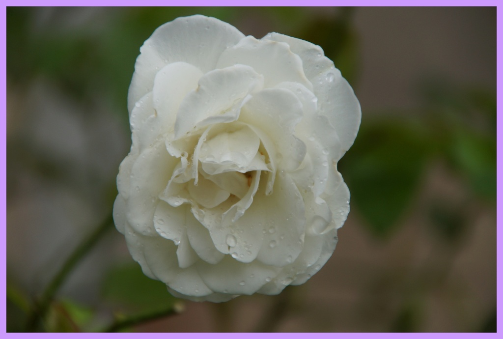 [Fil Ouvert] Fleurs - Page 22 Dsc08710
