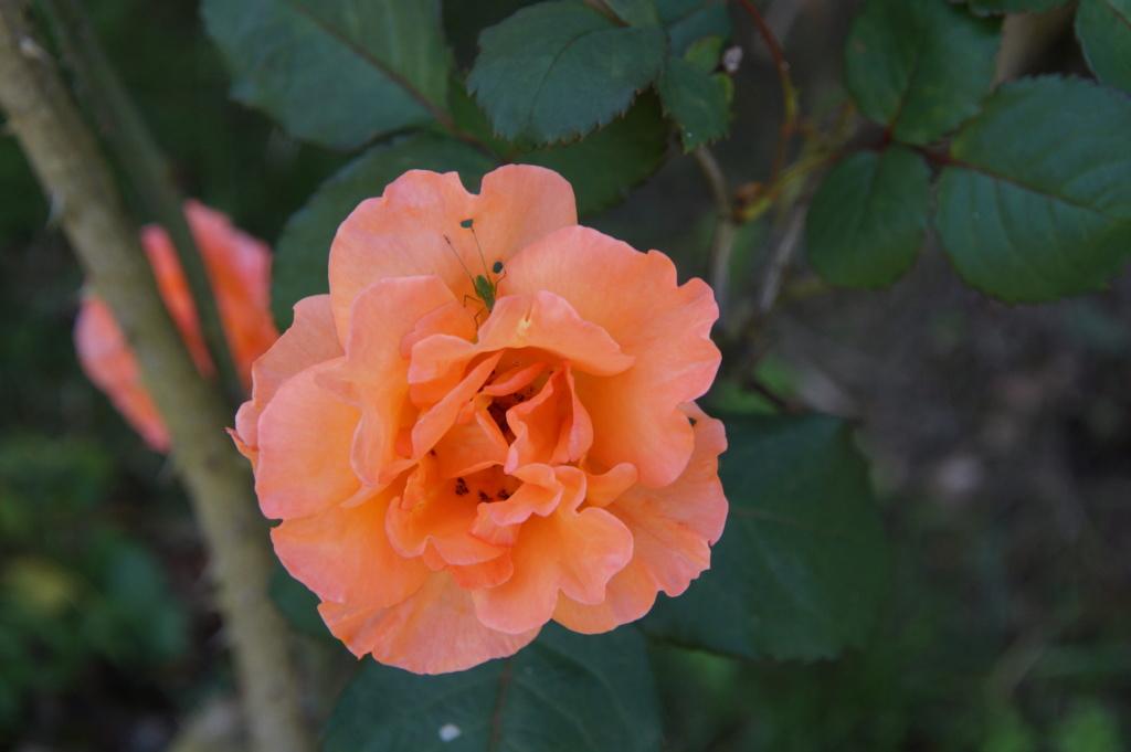 [Fil Ouvert] Fleurs - Page 23 Dsc08923