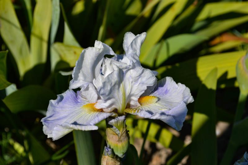 Une saison en iris (2020) Dsc_0011