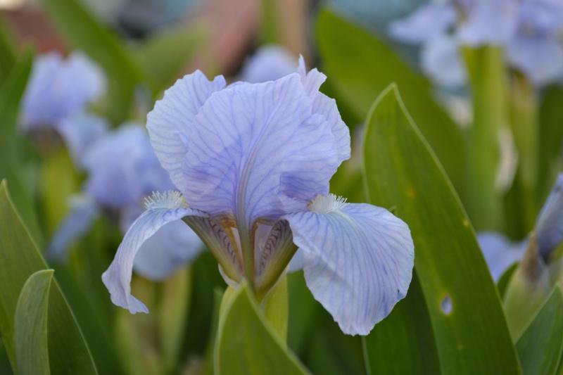 Iris 'Blue Denim' - Bee Warburton 1958 Dsc_0013