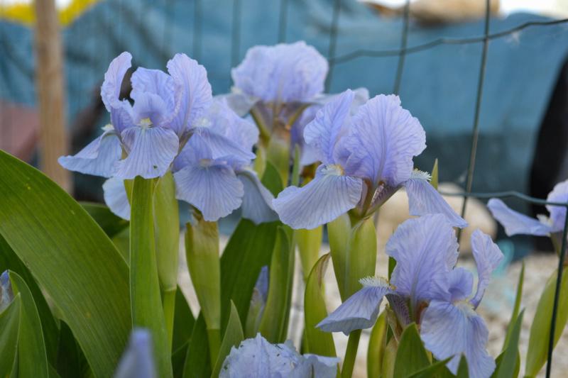 Iris 'Blue Denim' - Bee Warburton 1958 Dsc_0014