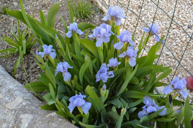 Iris 'Blue Denim' - Bee Warburton 1958 Dsc_0015