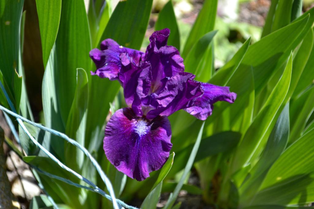 Iris 'Bourgeois' - Paul Black 2002 Dsc_0114