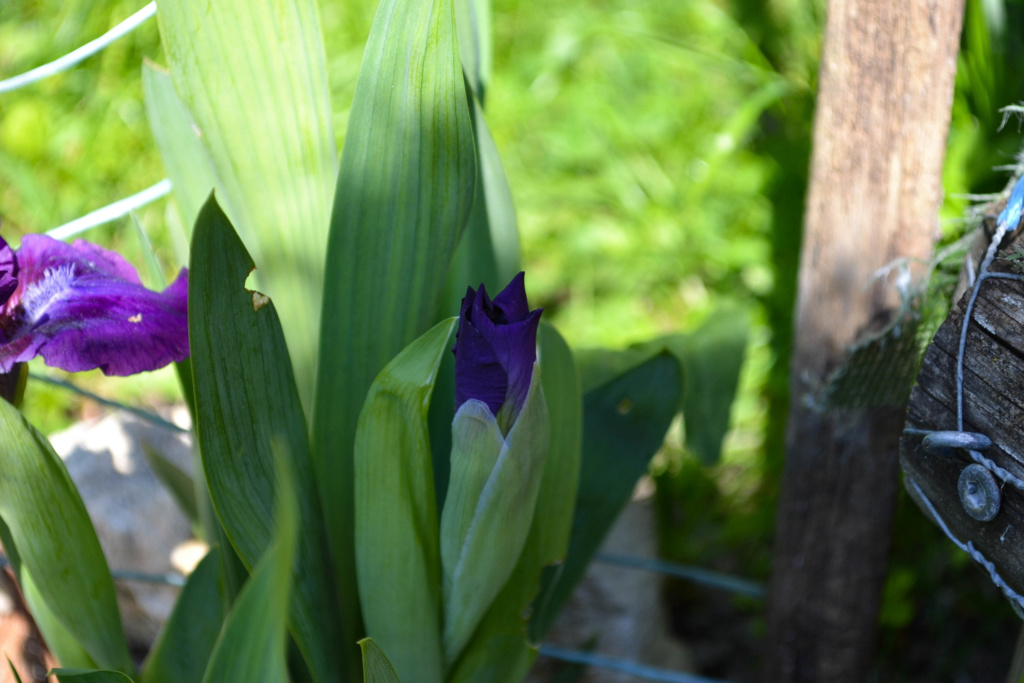 Iris 'Bourgeois' - Paul Black 2002 Dsc_0115