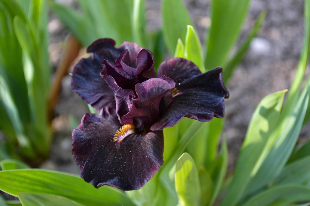 Iris 'Devil Baby' - Keppel 2004 Dsc_0117