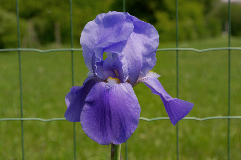 Iris 'Blue Rythm' - Mrs. C. Whiting 1945 Dsc_0126