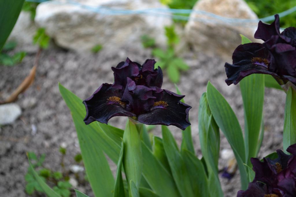 Iris 'Devil Baby' - Keppel 2004 Dsc_0214