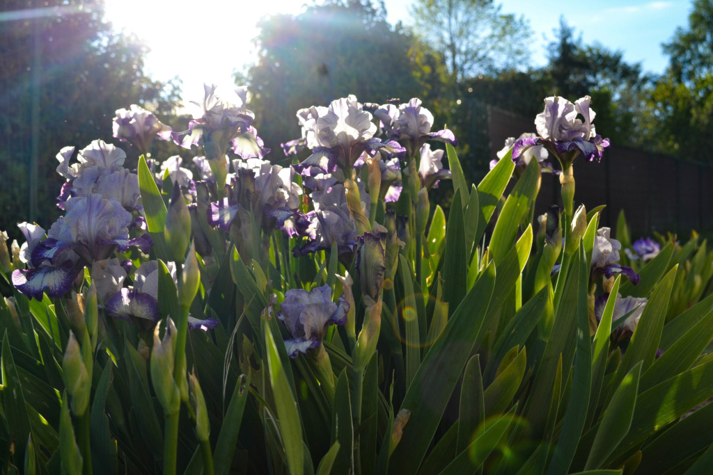 Iris 'Agatha Christie' - George Sutton 1996 Dsc_0215