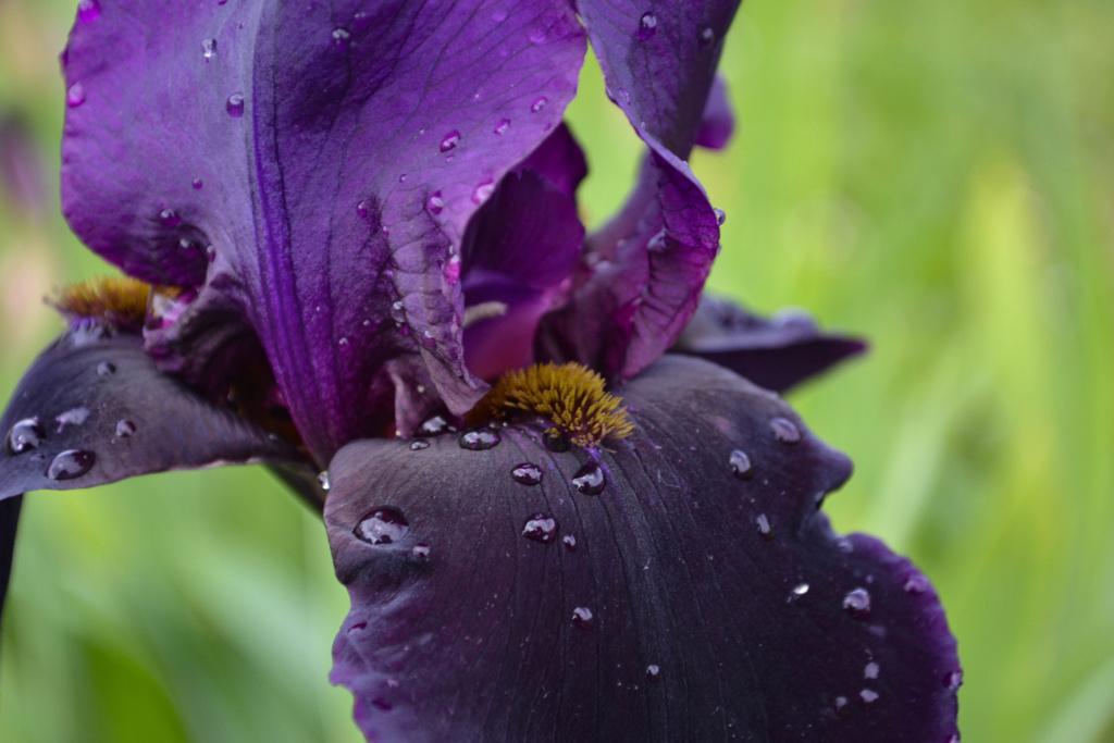 Iris 'Black Swan' - Orville Fay 1960 Dsc_0423