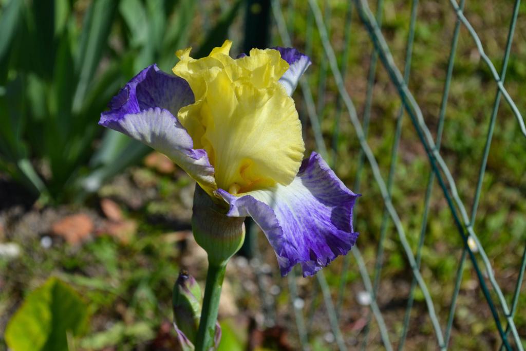 Iris 'Boundless' - Michael Sutton 2009 Dsc_0425