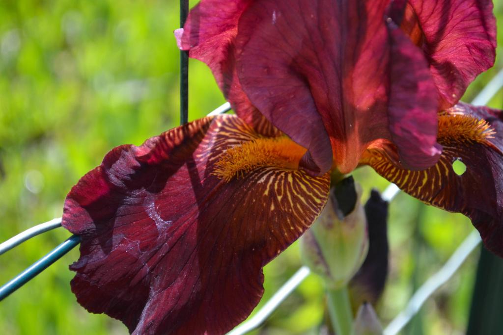 Iris 'Caldron' - Robert Schreiner 1957 Dsc_0622