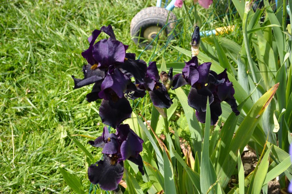 Iris 'Black Swan' - Orville Fay 1960 Dsc_0716