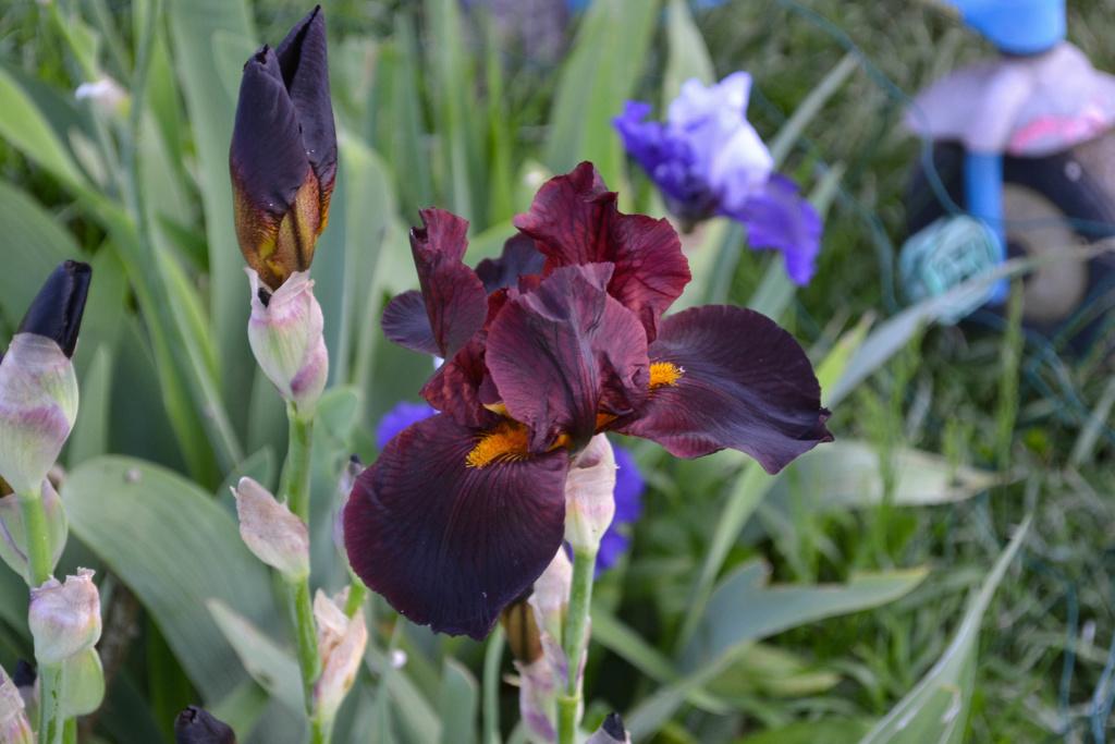 Iris 'Caliente' - Walter Luihn 1967 Dsc_0718