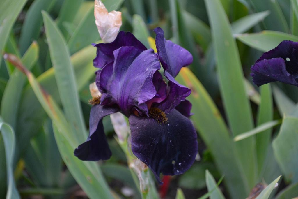 Iris 'Black Swan' - Orville Fay 1960 Dsc_0910