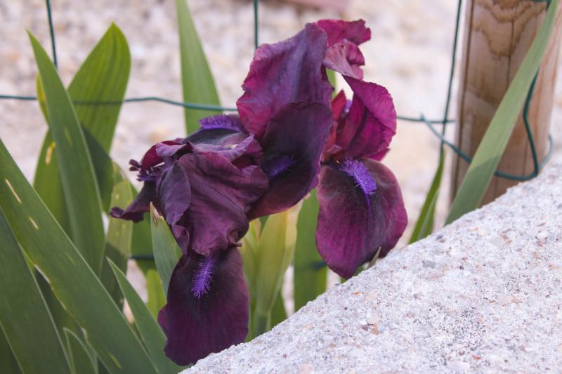 iris miniature Img_7713