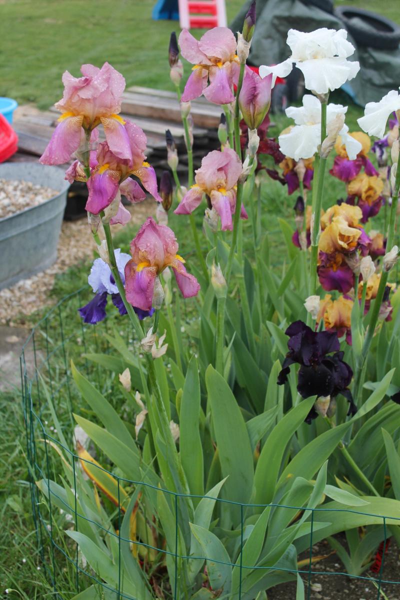 Iris rose - Flora [identification non terminée] - Page 2 Img_8222