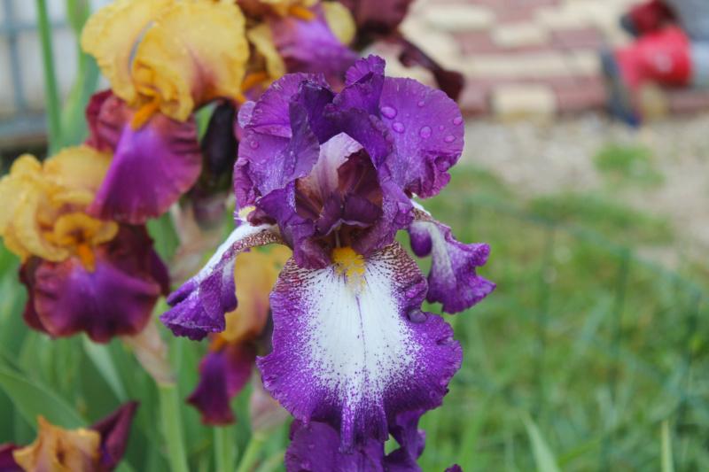 Grand plicata violet-rose (Natyra #3) [Identification à suivre] Img_8223