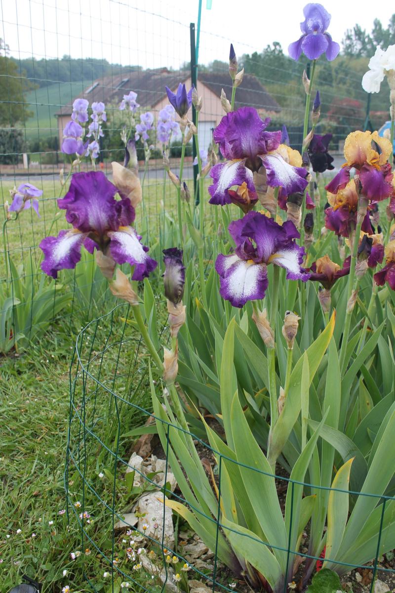 Iris plicata violet-rose (Natyra #3) [Identification à suivre] Img_8227