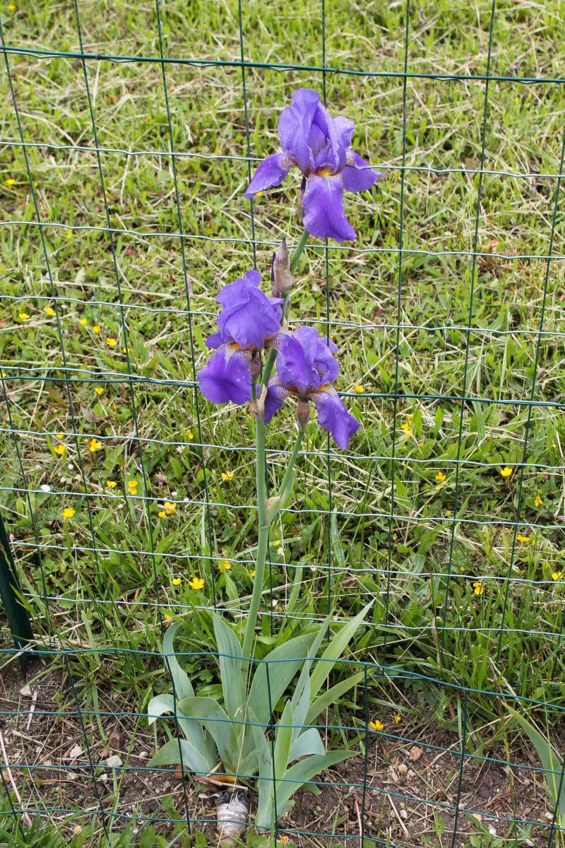 Grand ancien bleu-violet 90cm (Natyra #5) [Identification en cours] Img_8237