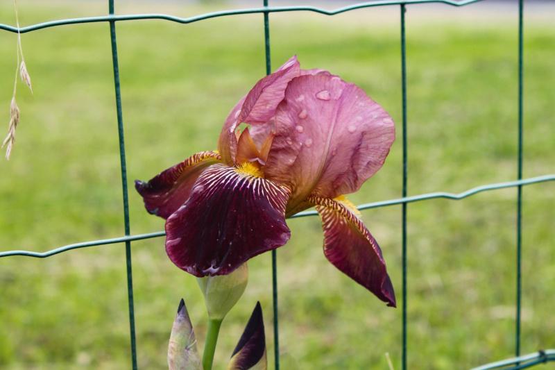 Iris bitone rouge brun Natyra #8 [Identification en cours] Img_8247