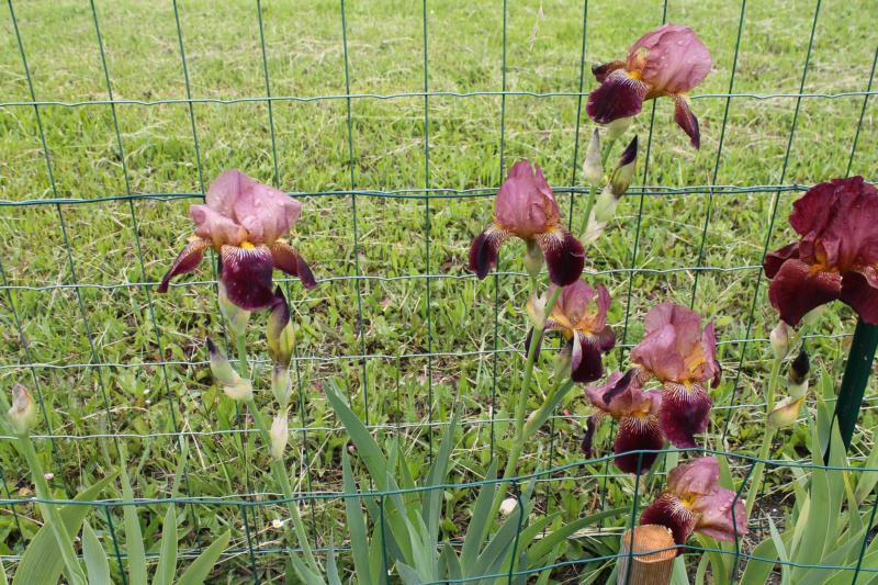 Grand Iris Marron 75cm Natyra #8 [Identification en cours] Img_8249