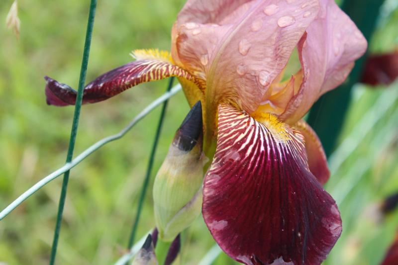 Grand Iris Marron 75cm Natyra #8 [Identification en cours] Img_8250