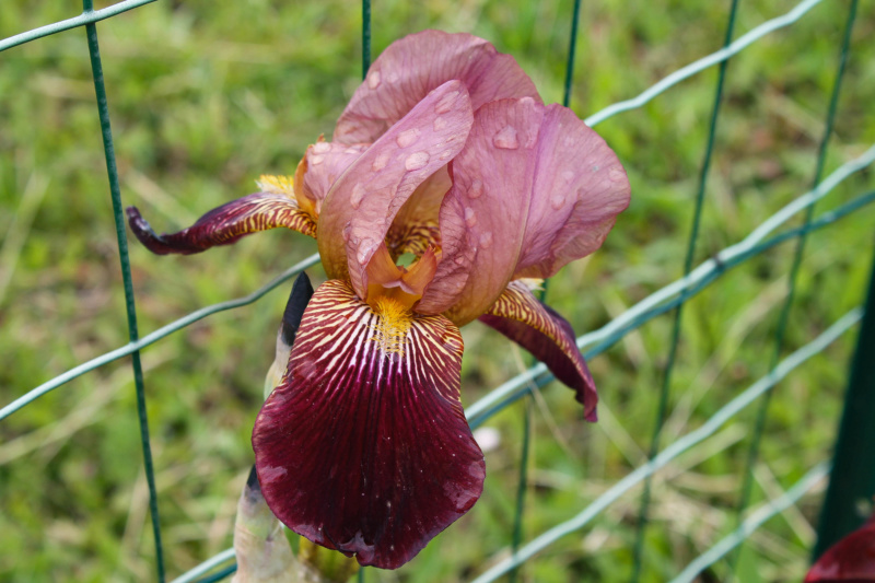 Grand Iris Marron 75cm Natyra #8 [Identification en cours] Img_8251