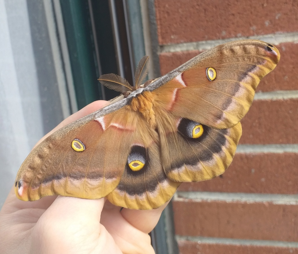 [Annonce close] oeufs Antheraea Polyphemus 20210410