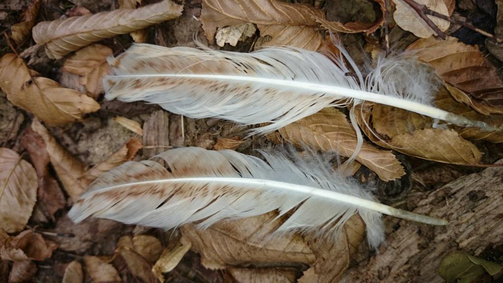 Plumes trouvées dans une forêt à Ruelisheim Ht-Rhin  Dsc_0210