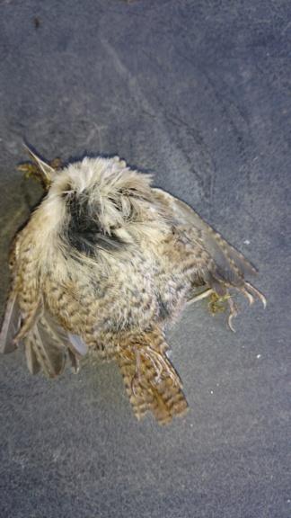 Oiseau mort trouvé, un moineau ? Dsc_0410