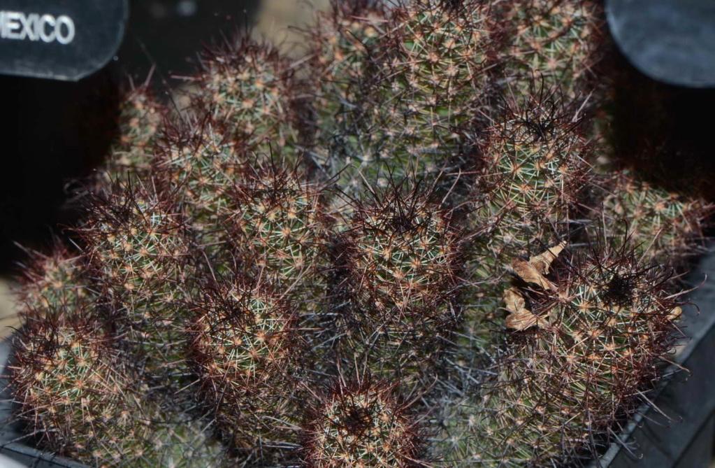 Mammillaria from Botanic Garden 2 Dsc_2114