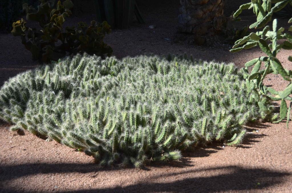 Unkown cacti from Marrakech Dsc_6117