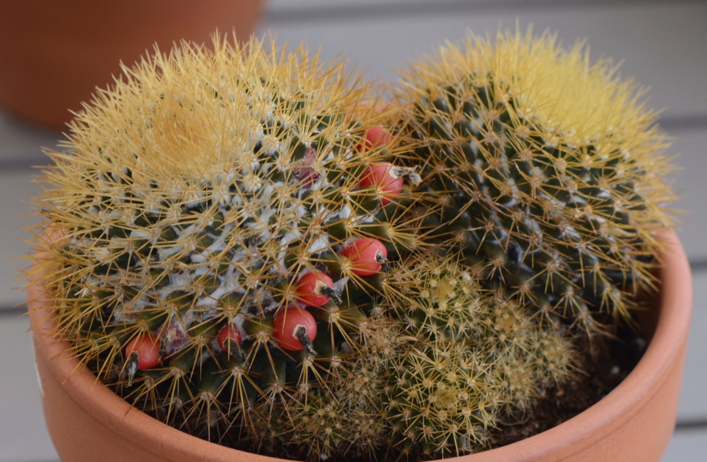 Mammillaria to identify Dsc_6210
