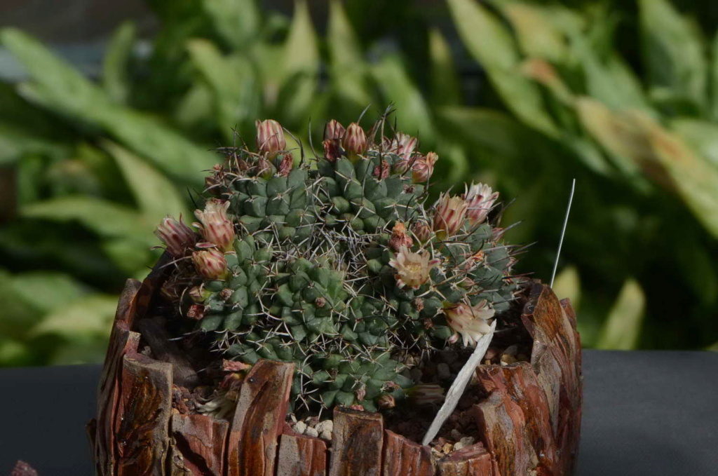 Unknown Mammillaria 3 Dsc_9120