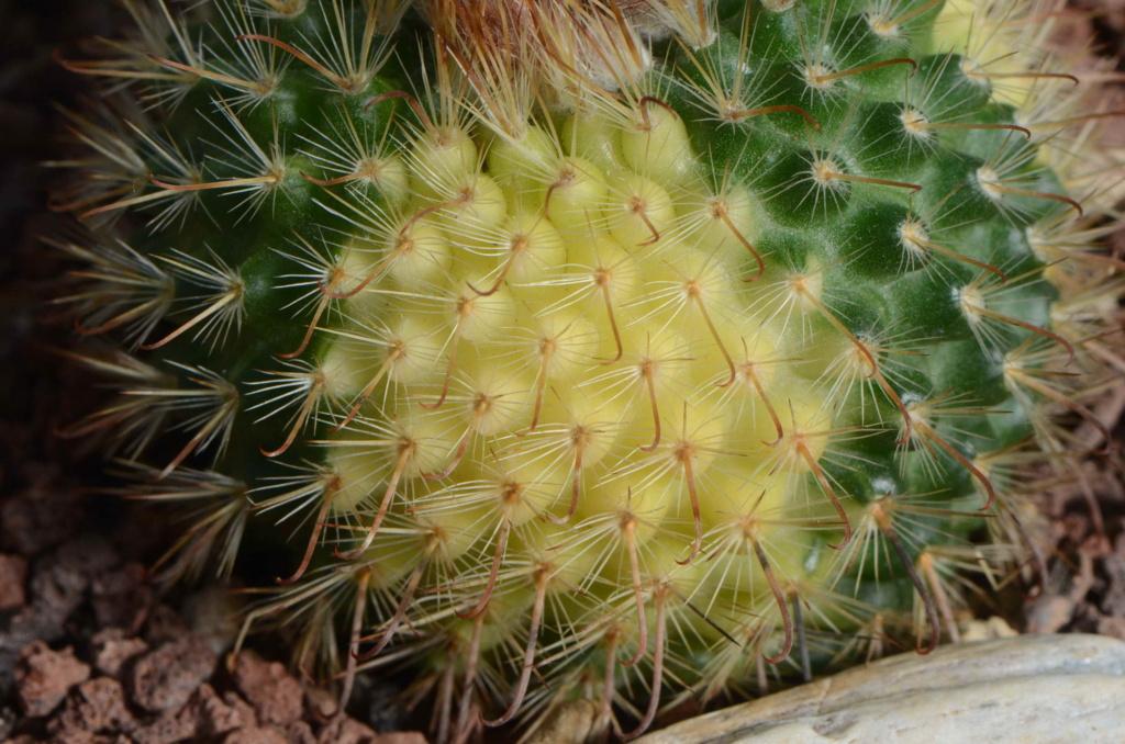 Unkown mammillaria 4 Dsc_9213