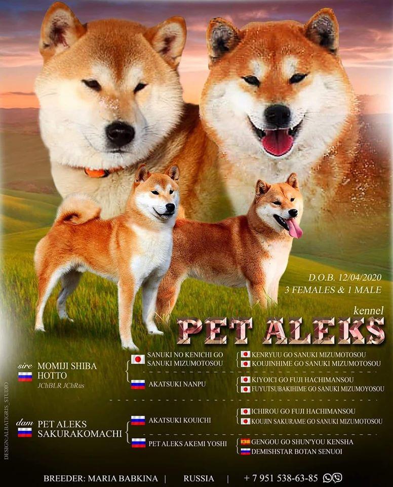 "Щенки питомника ""PET ALEKS"" от MOMIJI CHIBA HOTTI (NIPPO) & PET ALEKS SAKURAKOMACHI 93828310"